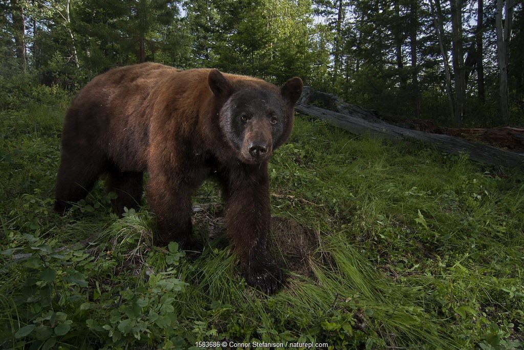 Cinnamon phase black bear (Ursus americanus) boar walking past an infrared triggered camera trap. Williams Lake, British Columbia, Canada July.