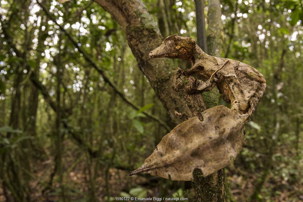 Satanic leaf-tailed gecko (Uroplatus phantasticus) Ranomafana National Park, Madagascar