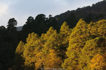 Caledonian pine forest with Scots pine trees (Pinus sylvestris) alongside River Carron,with Birches (Betula) at dawn. Regenerated area due to rewilding experiment in Alladale estate, Scotland, UK, October.