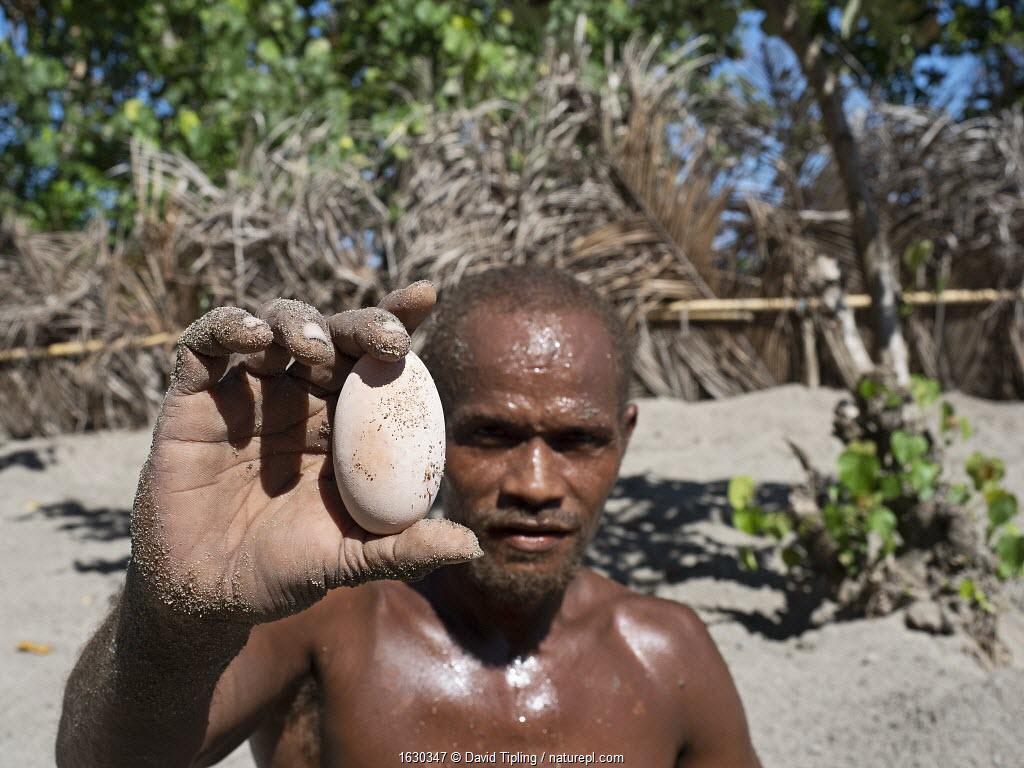 Man holding Melanesian megapode (Megapodius eremita) egg dug out of nest chamber in sand. Savo Island, Solomon Islands.
