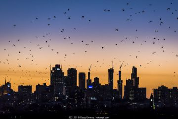 Grey-headed flying-foxes (Pteropus poliocephalus) fly out over Melbourne city skyline looking for food during a summer sunset. Kew, Victoria, Australia. March 2017.