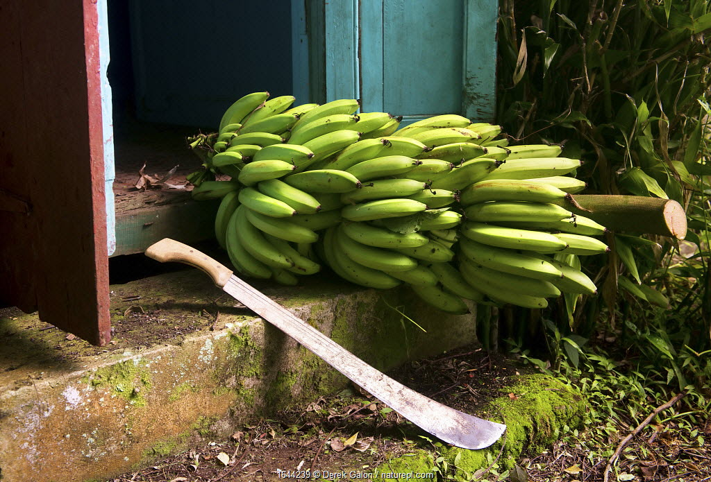 Bananas (Musa accuminata) ripening on the stem, on steps of traditional Caribbean chattel house. Dominica, Eastern Caribbean. August 2017