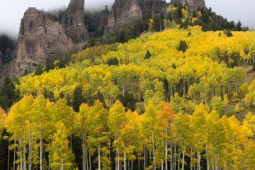 Autumn quaking aspen trees (Populus tremuloides) below Turret Ridge, Uncompahgre National Forest, Colorado, USA. October.