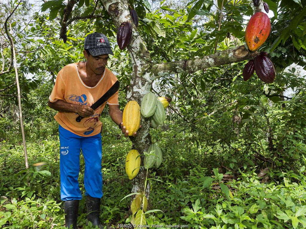 Man harvesting Cocoa pods harvest, Almada farm, Mata Atlantica, Bahia, Brazil.