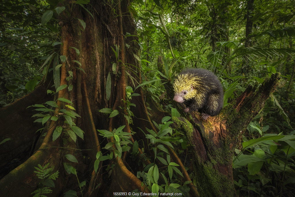 Mexican hairy dwarf porcupine (Sphiggurus mexicanus) on tree stump in rainforest, rehabilitated animal prior to release. Near San Jose, Costa Rica.