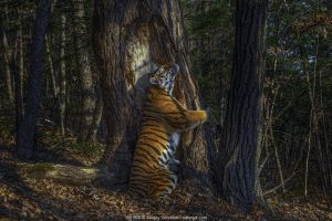 Crowned Wildlife Photographer of the Year just a few weeks ago, Sergey's Gorshkov's work has finally received the acknowledgement that is has deserved for a long time. His iconic shot of a Siberian tiger marking its territory on a forest tree is not only a great standalone image, but also shows that great images don't just happen. Instead, such images are hard work and involve a lot of planning, anticipation and knowledge of the subject. In this case, Sergey installed a camera trap in the forest in front of this tree where he had seen marks from previous tiger activity. Months later, upon checking the trap, he had finally captured this brilliant scene. Imagine the joy and the pride a photographer experiences when a plan like this one works out: I bet it was equally exhilarating as winning the overall WPOTY competition! Congratulations to Sergey for this remarkable success. Поздравляю!