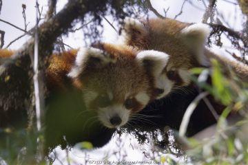 Red panda (Ailurus fulgens fulgens), two juveniles. Eastern Nepal. Screen grab from video.
