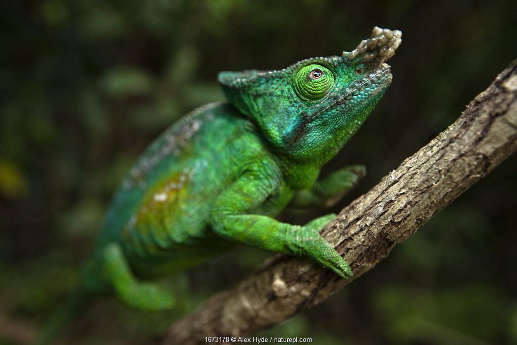 Parsons chameleon (Calumma parsonii) male climbing vine. Near Andasibe-Mantadia National Park, Madagascar.