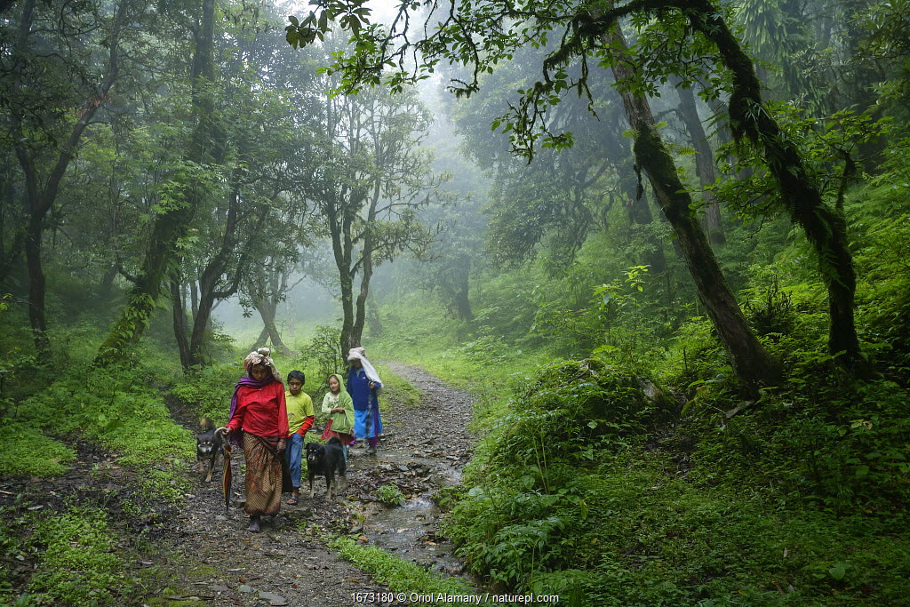 A Nepalese family, flanked by their two Tibetan mastiff dogs, walks along path through the Rhododendron forests at an alttude of 3,000 metres on their way to the village of Ghorepani, during the monsoon season. Annapurna Conservation Area, Myagdi District, Himalayas, Nepal, July.