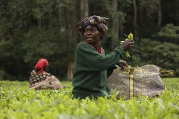 Tea pickers in tea plantation at edge of Kakamega rainforest, tea plantation used as a buffer to protect forest. Kenya. 2017.