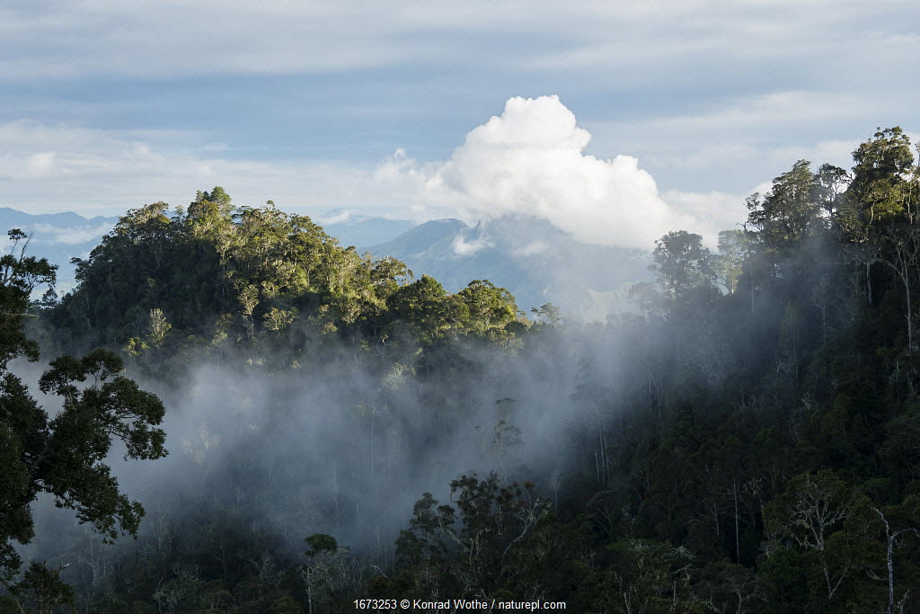 Cloud in montane rainforest. Eastern Highlands, Papua New Guinea. 2019.