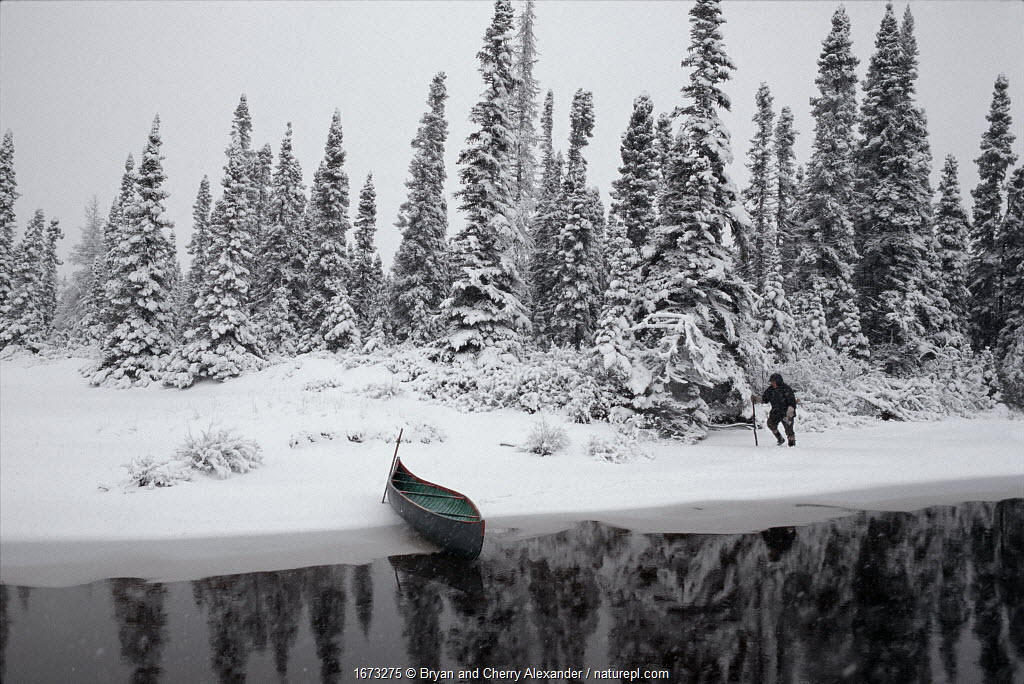Innu hunter, Pinip, checking traps in snow covered boreal forest, in autumn. Southern Labrador, Newfoundland and Labrador, Canada.