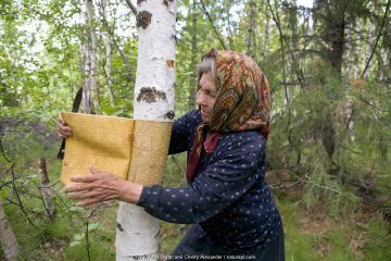 Selkup woman, Nina Kunina, cutting bark from Birch (Betula sp) tree to make traditional basket. Near Bistrinka, Purovskiy Region, Yamal, Western Siberia, Russia.
