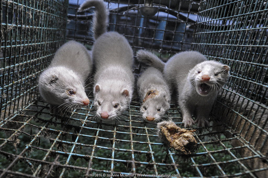 Caged American mink (Mustela vison) in fur farm, Sweden. Mink frequently wound and cannibalize one another in the cramped conditions of fur farms.
