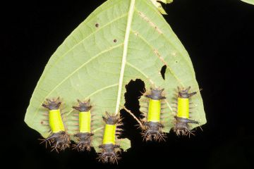 Group of saddleback moth caterpillars (Acharia hyperoche) eating a leaf in the rainforest understory, Yasuni national Park, Ecuador