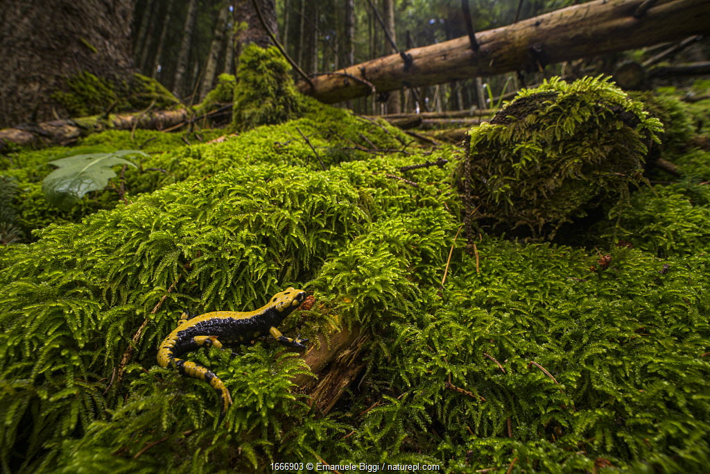 Aurora's salamander (Salamandra atra aurorae), endemic to Asiago plateau, Italy, August