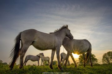 Konik horses (Equus ferus caballus) interacting at sunset, floodplain of the river Rijn, Meinerswijk near Arnhem, the Netherlands. May