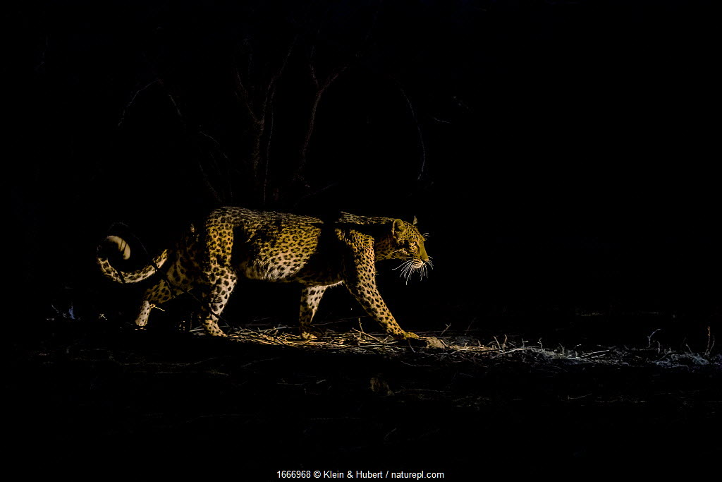 Leopard (Panthera pardus) hunting at night, South Luangwa National Park, Zambia.
