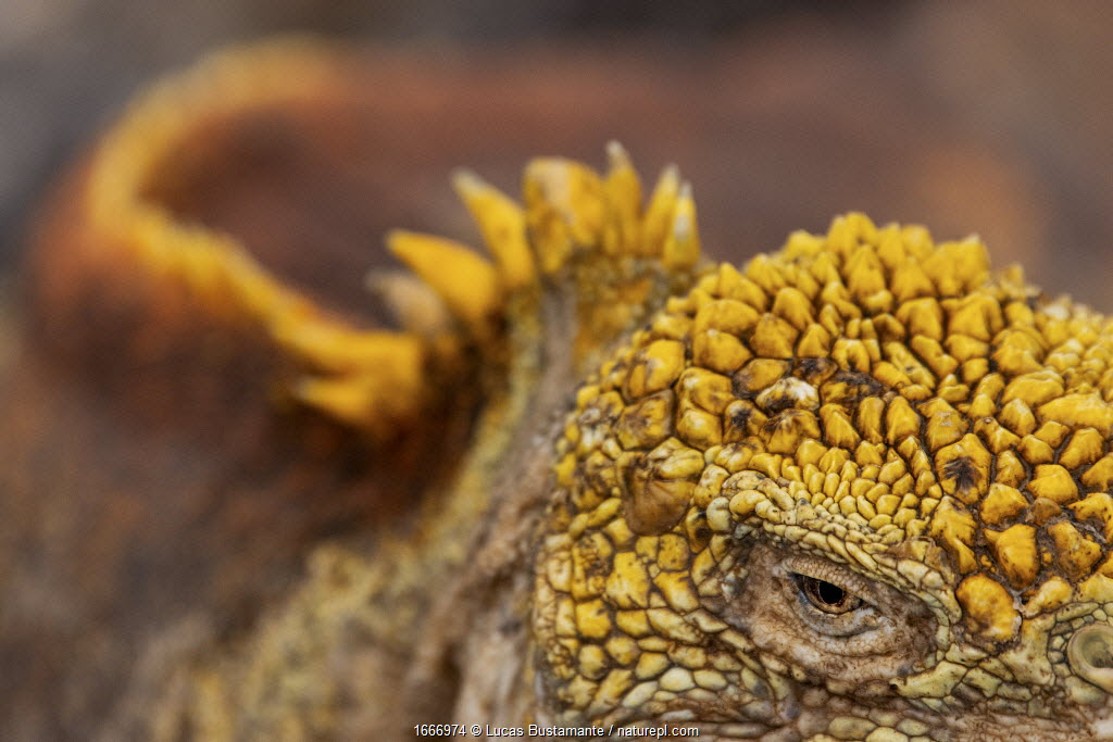 Galapagos land iguana (Conolophus subcristatus) close up of eye and skin, South Plaza Island, Galapagos