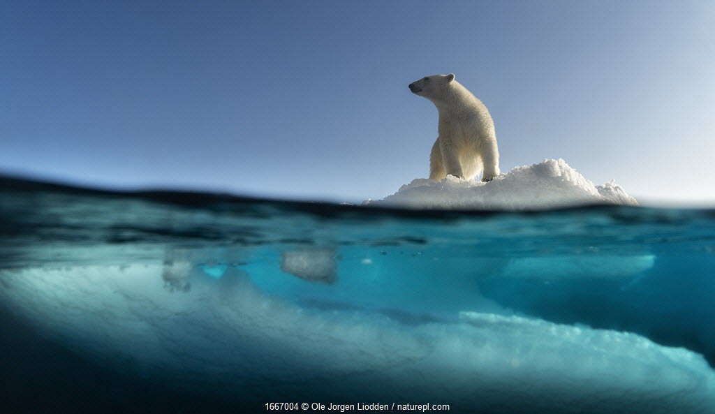 Polar bear (Ursus maritimus) on drifting sea ice in northeastern parts, Svalbard, Norway, August.