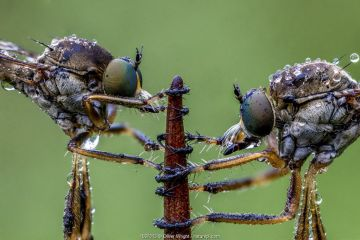 Striped slender robberflies (Leptogaster cylindrica). Ledston, Yorkshire, England, UK, June. Focus stacked image.