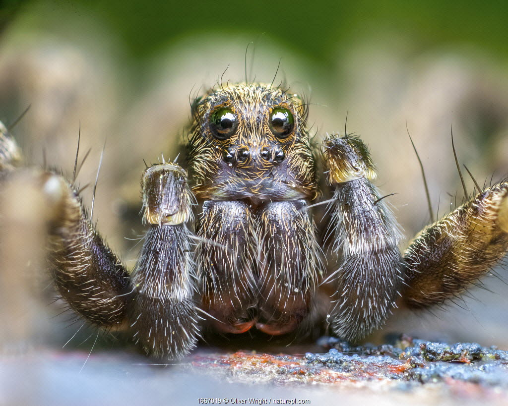 Wolf spider (Pardosa amentata) close up, Leeds, Yorkshire, England, UK, April. Focus stacked image.