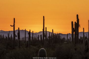 Saguaro cactus (Carnegiea gigantea) silhouetted at sunset, Organ Pipe Cactus National Monument, Arizona, USA, March 2020.