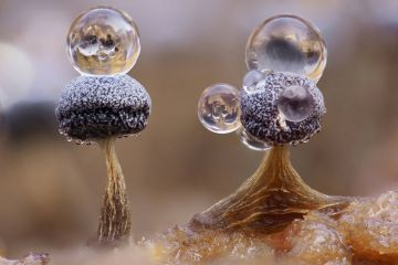 Slime mould (Physarum album), dew droplets on two sporangia, close-up. Hertfordshire, England, UK. November. Focus stacked image.