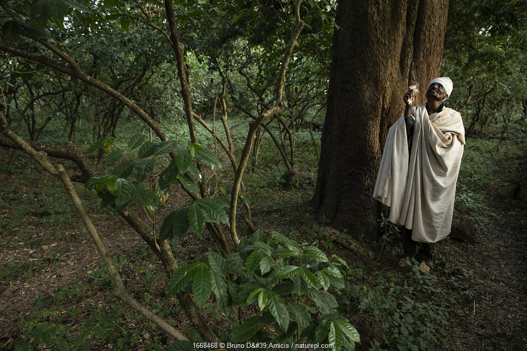 Priest under East African yellowwood (Afrocarpus gracilior) tree in church forest. Church forests remain largely intact within a degraded landscape as they are considered sacred. Near Zege, Ethiopia. 2018.