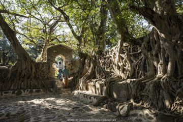 Fig (Ficus sp) trees with roots sprawling over walls of Fasiladas' Bath Complex, women entering through doorway. Gondar, Ethiopia. 2018.