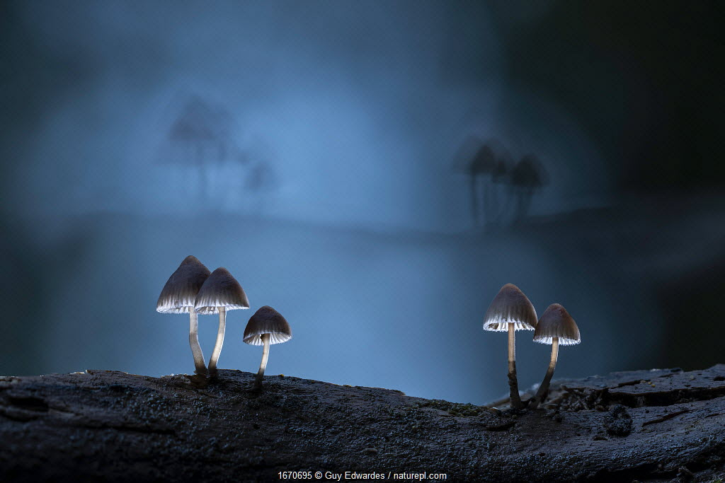 Fungus (Mycena sp) at night. New Forest National Park, England, UK. October.