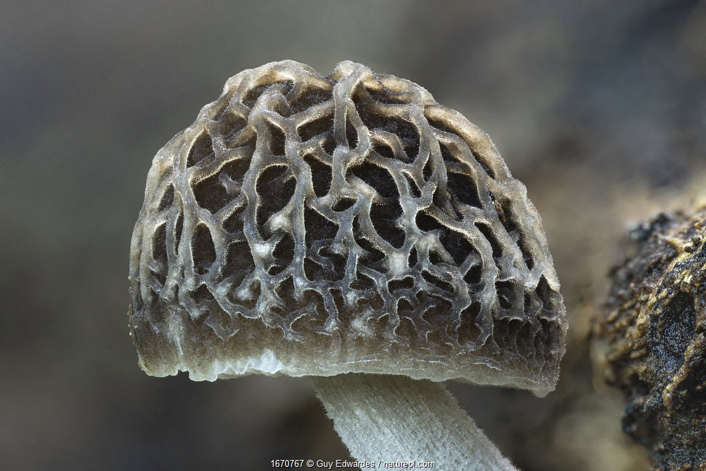 Veined shield fungus (Pluteus thomsonii), close-up of cap. Dorset, England, UK. November.