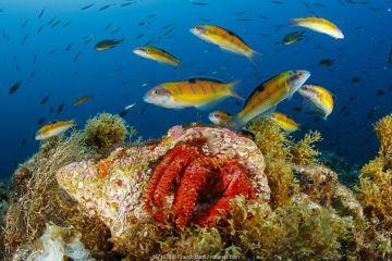 Hermit crab (Dardanus arrosor), with Shoal of Ornate wrasse (Thalassoma pavo) Santa Maria Island, Azores, Portugal, Atlantic Ocean