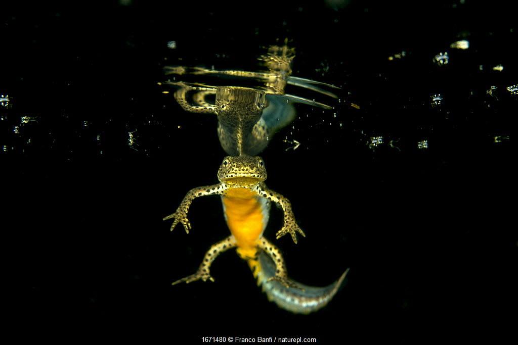 Wild Alpine newt (Ichthyosaura alpestris) male, Lago Nero, Pistoia, Tuscany, Italy.