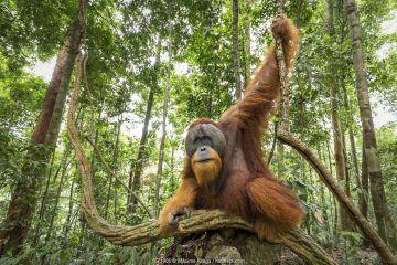 Flanged male Sumatran orangutan (Pongo abelii) male, Gunung Leuser National Park, Sumatra