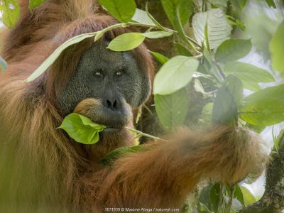 Flanged dominant male Tapanuli orangutan (Pongo tapanuliensis) Batang toru forest, North Sumatra