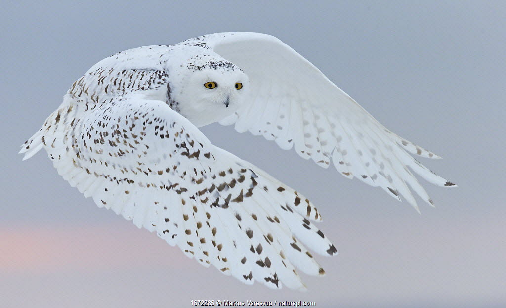 Snowy owl (Bubo scandiaca) female in flight. Canada. February.