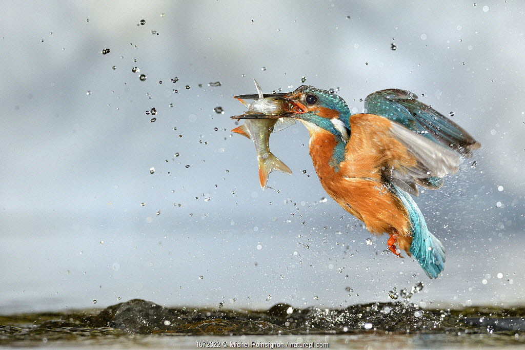 Kingfisher (Alcedo atthis) male, after diving, taking off from water with fish, a Common Roach (Rutilus rutilus) Lorraine, France, July