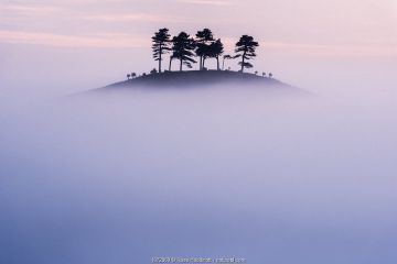 Pine (Pinus sp) trees on Colmer's Hill, in morning mist. Near Bridport, Dorset, England, UK. September 2012.