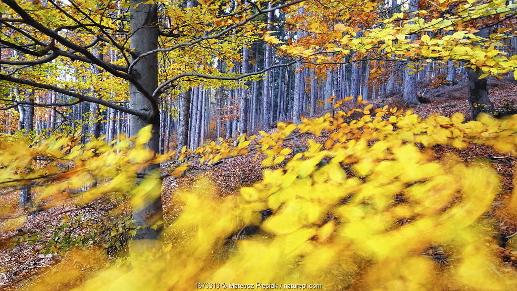 Autumn European beech (Fagus sylvatica) and pine forest in the background photographed with a wide angle lens on a windy day. Owl Mountains, Poland. November.