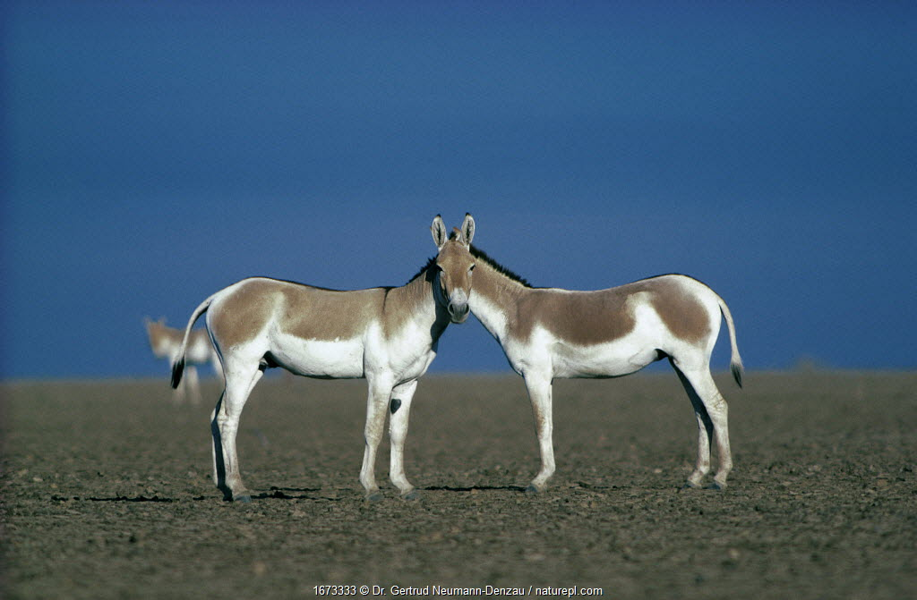 Two male Indian Wild Asses (Equus hemionus khur), looking like they share a single head, Little Rann of Kutch, Gujarat, SW India.