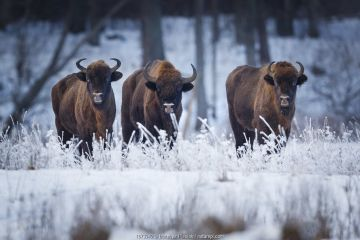 European Bison (Bison bonasus) in winter, Bialowieza National Park, Poland. January.
