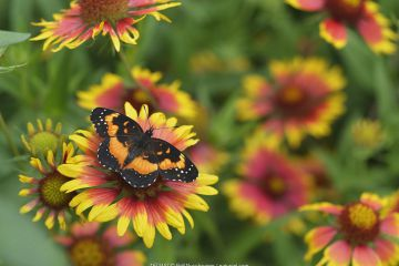 Bordered patch butterfly (Chlosyne lacinia) on Indian blanket (Gaillardia pulchella). Hill Country, Texas, USA.