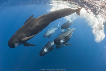 Long-finned pilot whales (Globicephala melas), Straits of Gibraltar, North Atlantic Ocean.