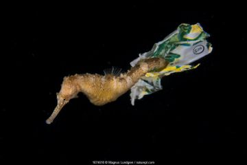 Tiger tail seahorse (Hippocampus comes) riding on plastic waste in Balayan Bay from Anilao, the municipality of Mabini, Batangas, the Philippines.