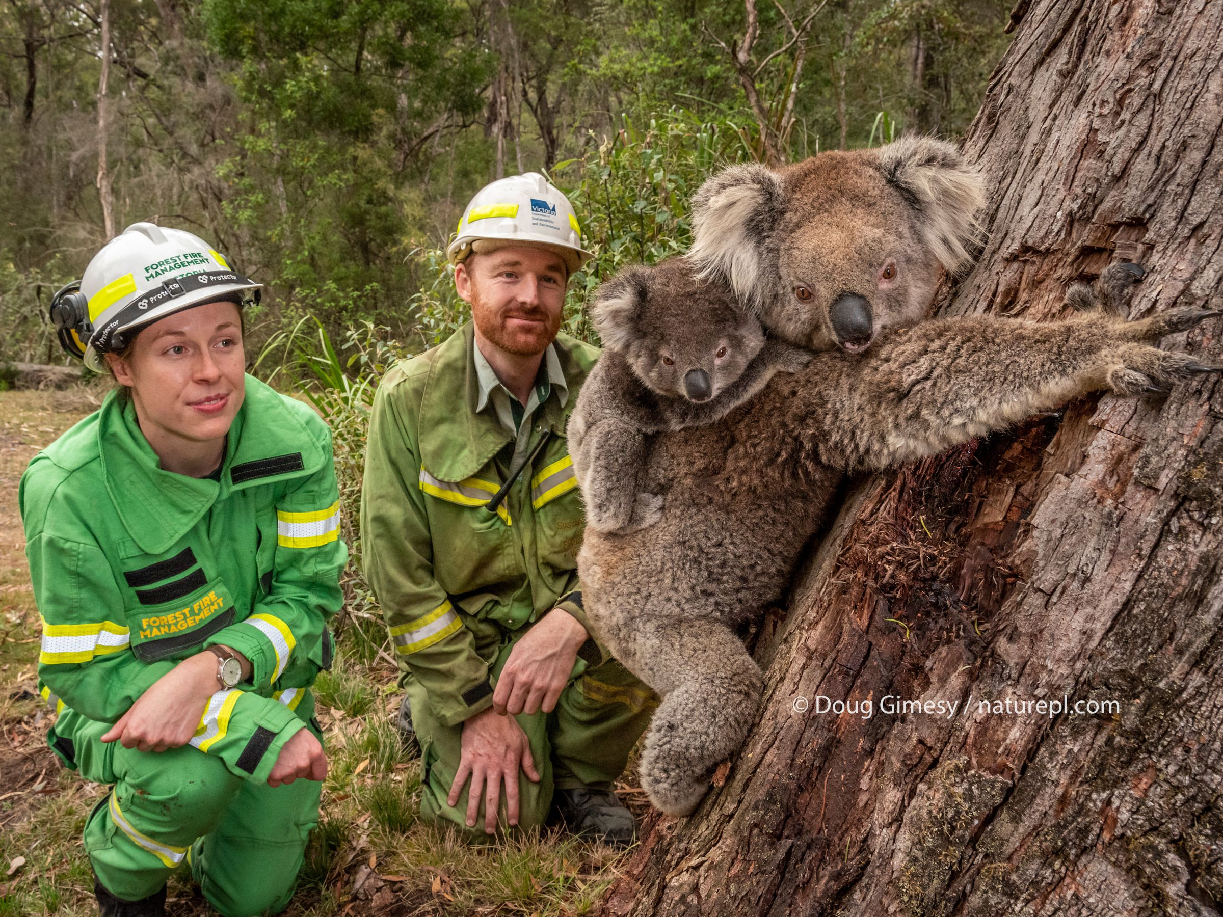 Forest and Wildlife officers Lachlan Clarke (right) and Emily Cordy watch on as a mother koala (Phascolarctos cinereus) and her joey are released. Editorial use only. Model released