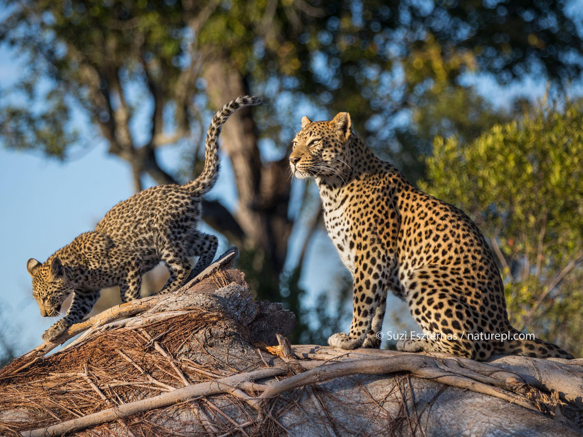 Leopard (Panthera pardus) mother and cub age four months , Jao Reserve, Okavango, Botswana