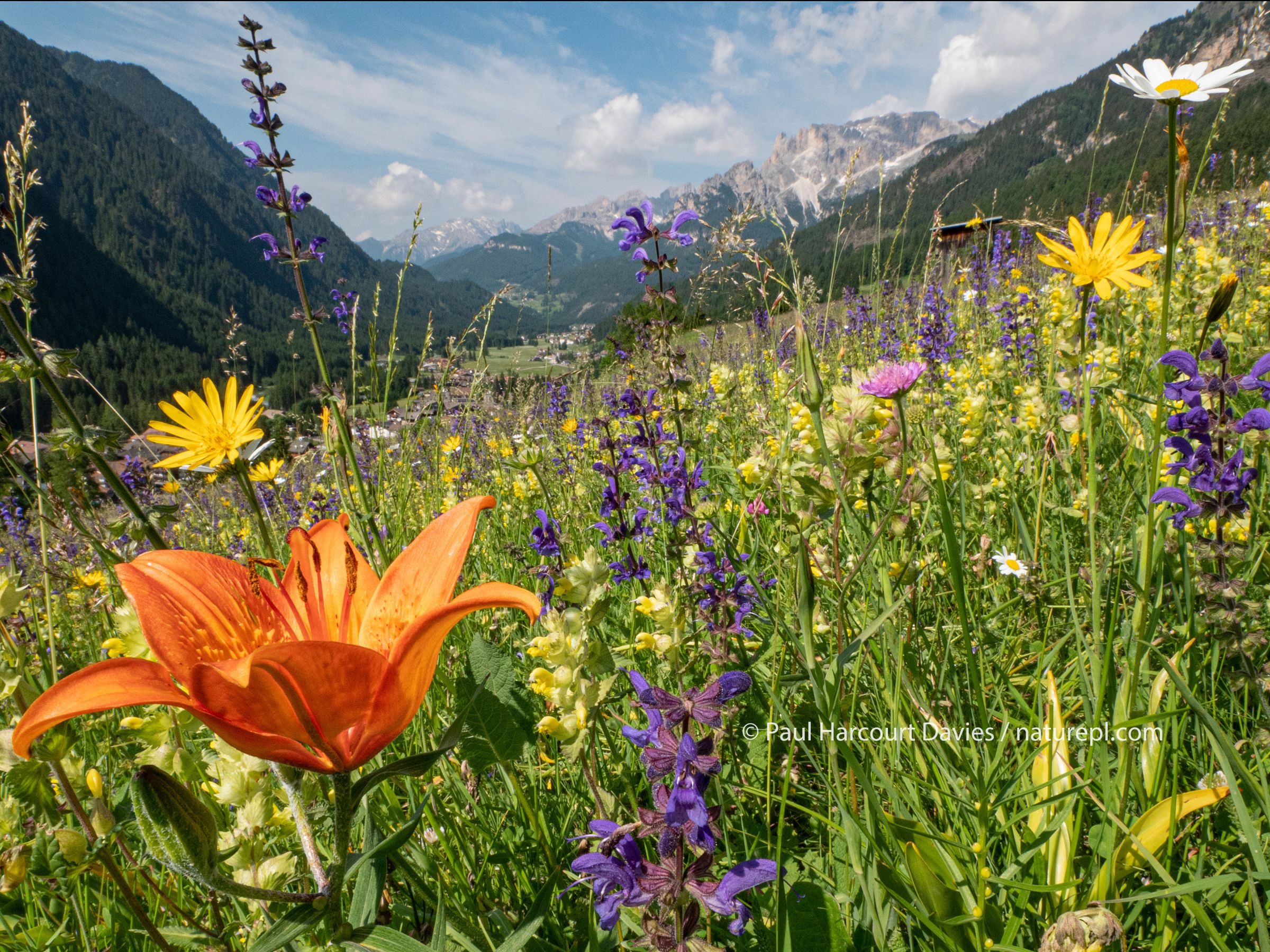 Species rich alpine meadow with Orange lily (Lilium bulbiferum), Meadow clary (Salvia pratensis) and Yellow rattle (Rhinathus sp). View towards Campitello di Fassa and mountains, Fassa Valley, Dolomites, Italy. June 2019.
