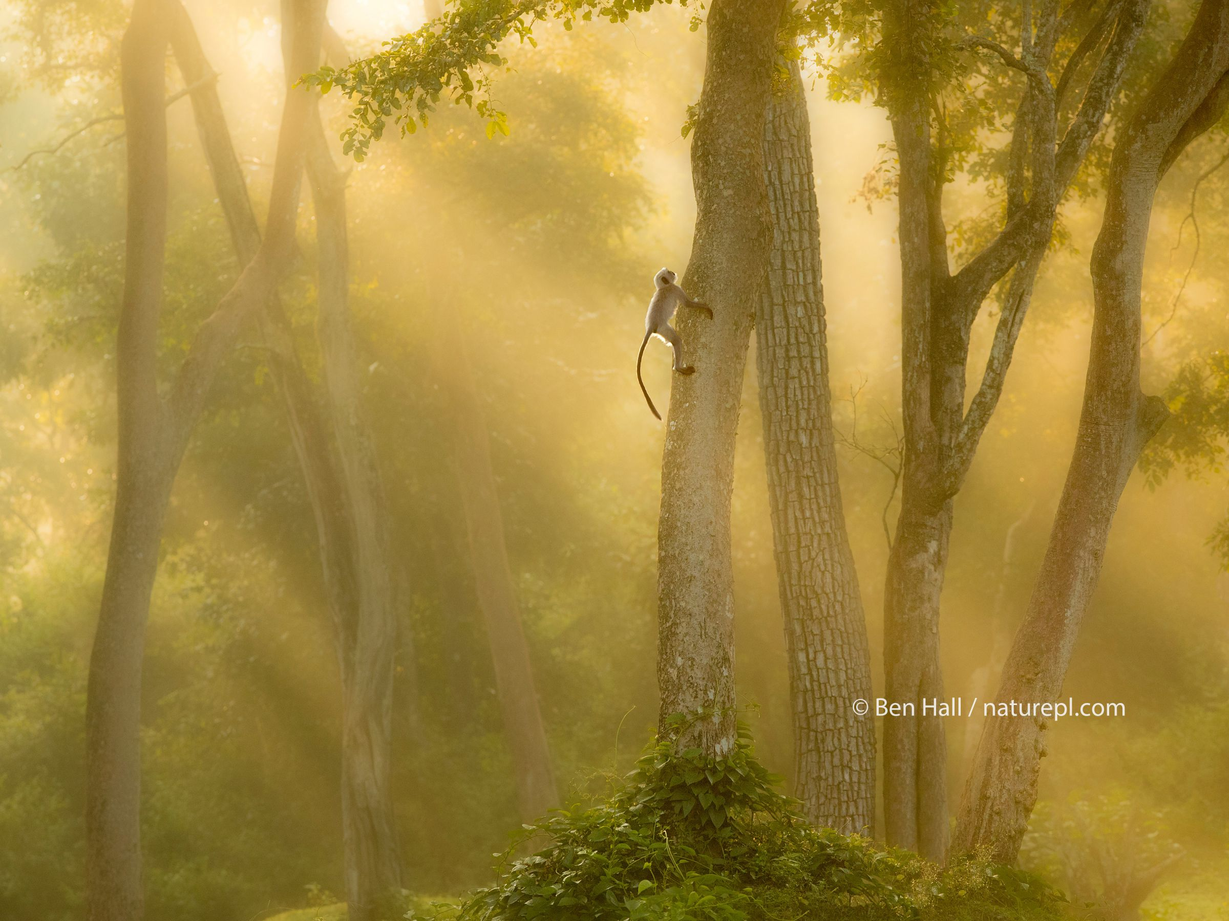 Langur monkey (Semnopithecus) climbing tree in misty forest at dawn, India, November.
