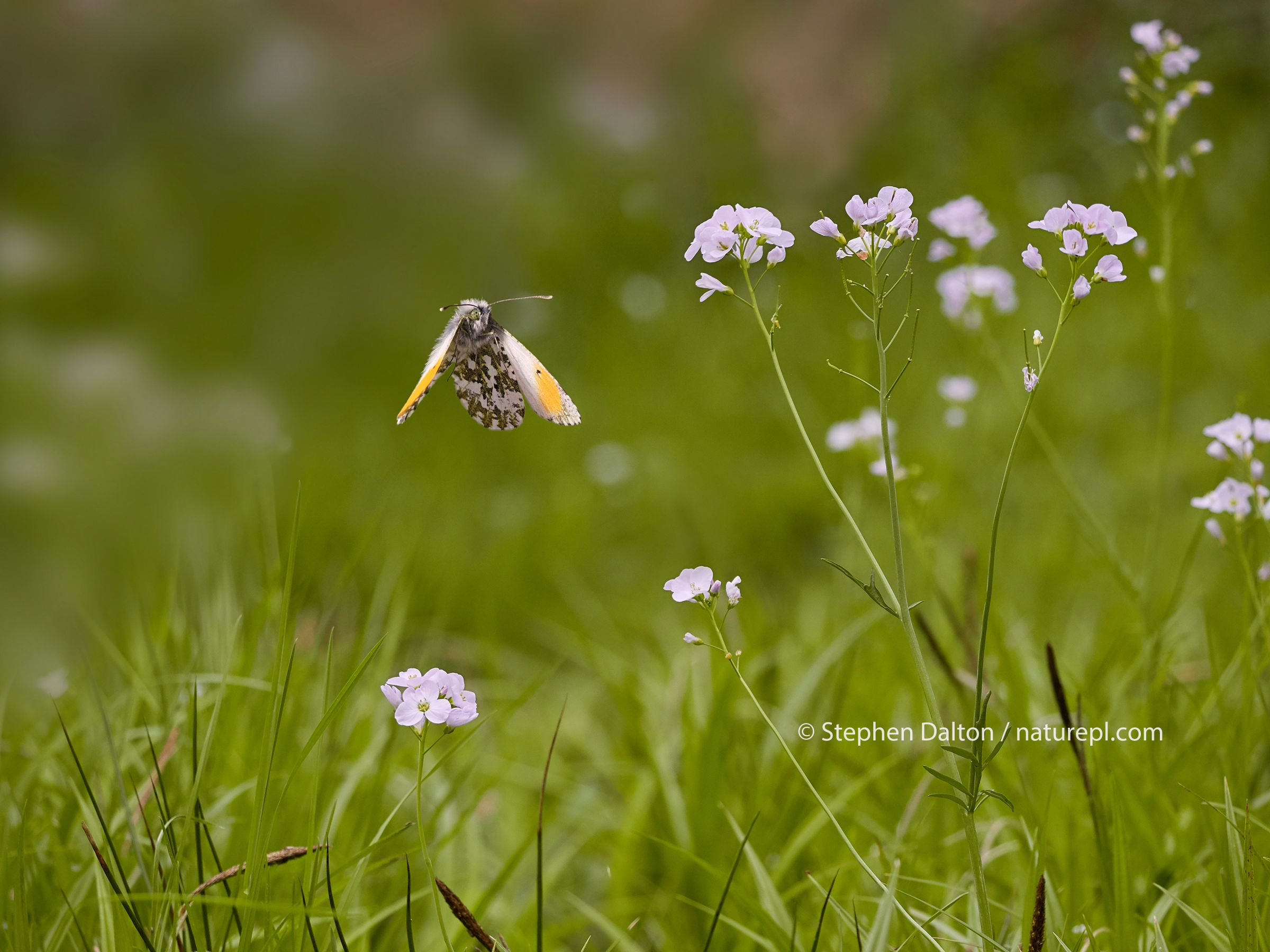 Orange tip butterfly (Anthocharis cardamines) male in flight amongst Lady's smock or Cuckooflower (Cardamine pratensis), England. Lady's smock is one of the foodplants of this butterfly, on which the female lays her eggs for the larvae to feed on.
